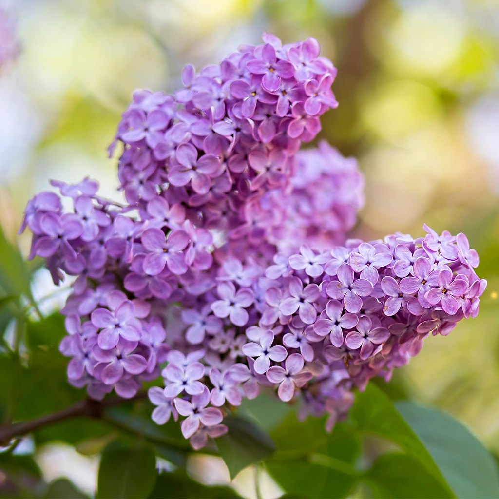 Crafters Choice Lilac In Bloom Fragrance Oil 87 Wholesale Supplies Plus