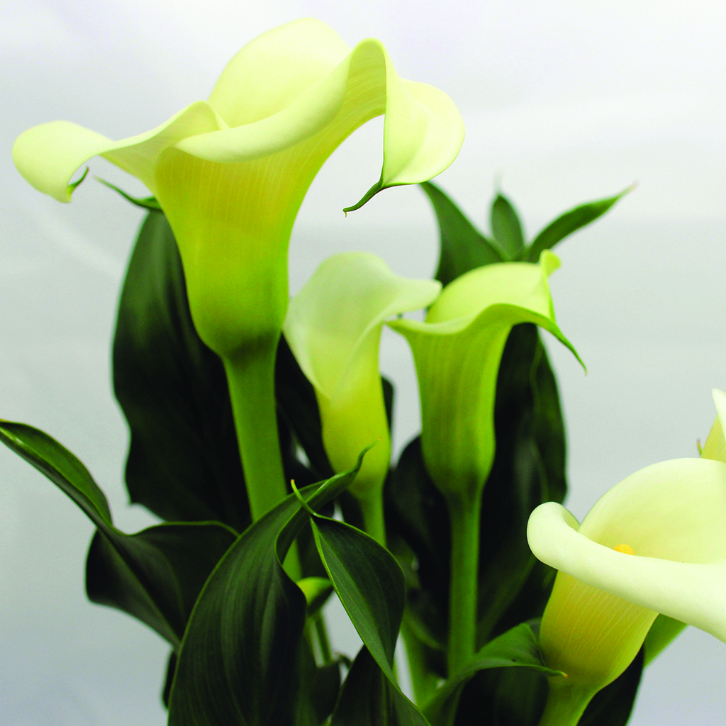 Crafters choice calla lily fragrance oil 328 wholesale supplies plus crafters choice calla lily fragrance oil 328 izmirmasajfo