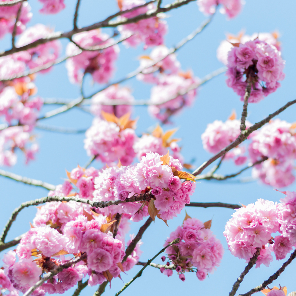 Crafters Choice™ Hanami Blossoms Fragrance Oil (Special