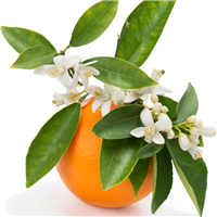 Orange Blossom & Thyme Fragrance Oil 707