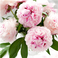 Pink Peony Petals Fragrance Oil 762