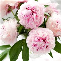 Pink Peony Petals Fragrance Oil 762