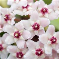 Desert Ghost Flower Fragrance Oil 775