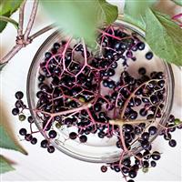 Elderberry Violet Fragrance Oil (Special Order)