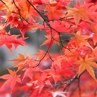 Radiant Red Maple* Fragrance Oil 835