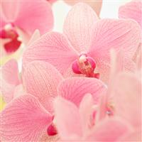 Blushed Orchid Fragrance Oil 879