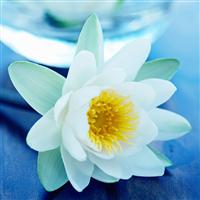 Blue Lotus Spa Fragrance Oil 840