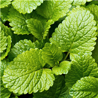 Lemon Balm Fragrance Oil