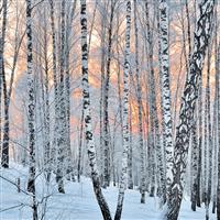 Frosted Birch & Juniper Fragrance Oil 870