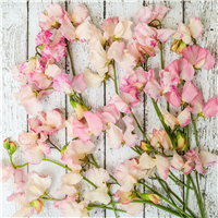 Sweet Pea* Fragrance Oil 308