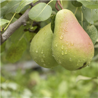 Pear Glace* Fragrance Oil 307