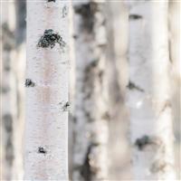 Vanilla Birch* Fragrance Oil 901