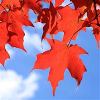 Fall Leaves & Blue Sky* Fragrance Oil (Spec Ord)