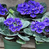 Violets & Violas Fragrance Oil (Surplus)