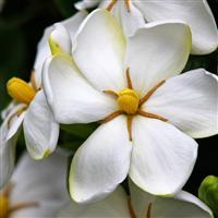 French Gardenia Fragrance Oil 914
