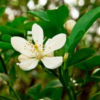 True Orange Blossom* Fragrance Oil (Special Order)