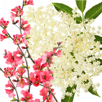 Elderflower Blossoms & Quince Fragrance Oil 934