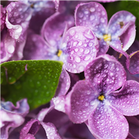 Violets & Dew Drops Fragrance Oil (Special Order)