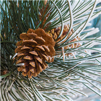 Frosted Pine Cone Fragrance Oil 974