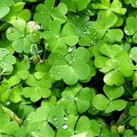 Irish Spring* Fragrance Oil 990