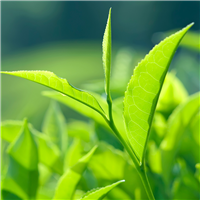 Tea Tree EO - Certified 100% Pure 136