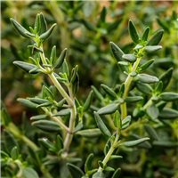 Thyme (Red) EO - Certified 100% Pure 1055