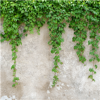 Cascading Ivy Fragrance Oil (Special Order)