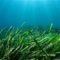 Sea Grass & Herbs - Natural Fragrance Oil 1100