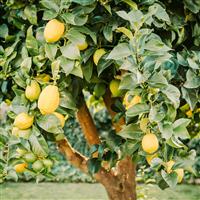 Backyard Lemon Tree* Fragrance Oil 1133