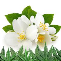 Jasmine Cannabis Fragrance Oil 1146