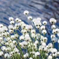 Rain Blossom & Cotton - Natural Fragrance Oil 1152