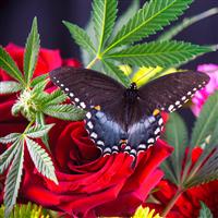 Cannabis Flower Fragrance Oil 1156