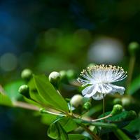 Coastal Lemon Myrtle - Natural Fragrance Oil 1158
