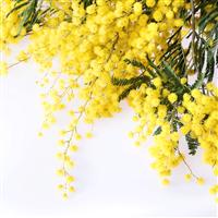 Wattle Flower Fragrance Oil 1186