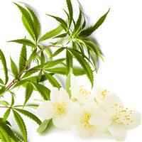Cannabis & Neroli Fragrance Oil 1164