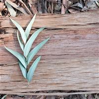 Sandalwood Eucalyptus* Fragrance Oil 1176