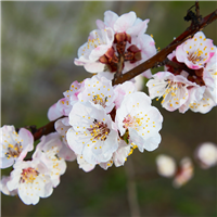 Apricot Blossoms & Soy Flower - Natural FO 527