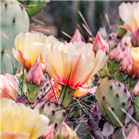 Cactus Blossom* Fragrance Oil 1196