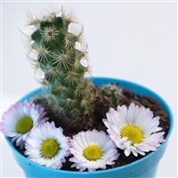 Blue Chamomile & Cactus - Natural Fragrance Oil 12