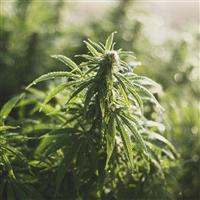Fresh Dew & Cannabis - Natural Fragrance Oil 1015