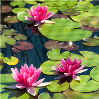 Water Lily & Hyacinth* Fragrance Oil 1250