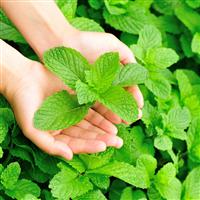 Garden Mint* Fragrance Oil 319