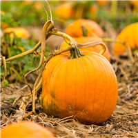 Pumpkin Pickin Fragrance Oil 783