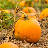 Pumpkin Pickin FO