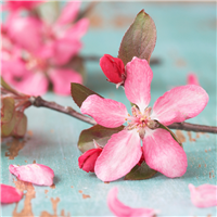 Cherry Blossom* Fragrance Oil 192