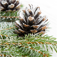 Sugared Spruce Fragrance Oil