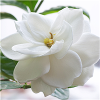 Gardenia Lily* Fragrance Oil 197