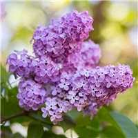 Lilac in Bloom Fragrance Oil