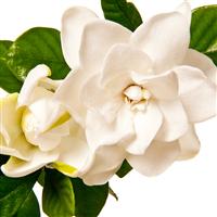 White Gardenia Flowers Fragrance Oil 98