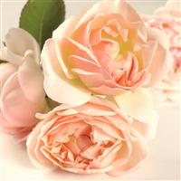 Sweet Bay Rose - EO & FO Blend 604